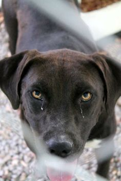 Gitana Labrador Retriever • Adult • Female • Large White County Animal Shelter Sparta, TN