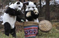 A mother and a baby panda are enjoying life in a nature reserve, after humans dressed in curiously familiar suits set them free.    The baby was born in captivity but handlers have tried to limit human interaction with the animal to maintain a healthy fear.    The handlers carried the baby panda in a basket lined with trees and branches, before setting it free.
