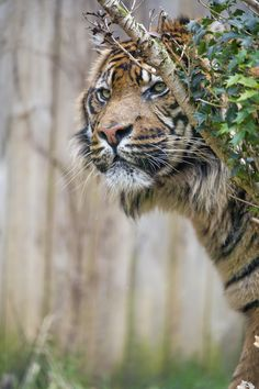 This is Baby, the male Sumatran tiger, behind a tree!