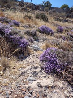 Some flowers on the rocks, Spinalonga