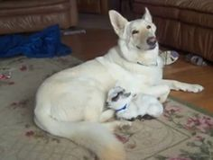 German Shepherd Dog happily looks after baby goat (VIDEO) » DogHeirs | Where Dogs Are Family « Keywords: pygmy goat, german shepherd dog, interspecies friendship