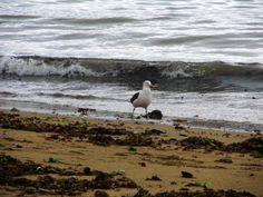 Playa, colores tierra, azul verdoso, y verde oscuro; ademas de ave común de las playas y caletas