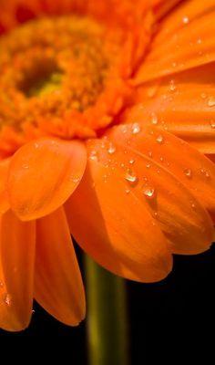 #orange #gerbera