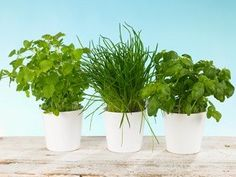 Growing Herbs Indoors- Know how to grow herbs indoors in winter, and you can enjoy freshly picked culinary herbs from your indoor garden...
