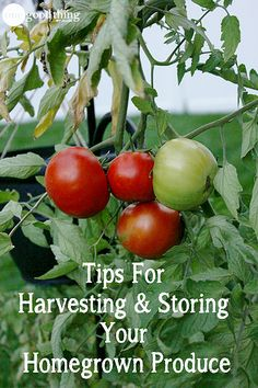 Learn how to harvest and store your home garden vegetables so that they last the longest and stay the freshest!