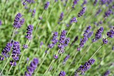 HAVEHJERNEN - Lavendel