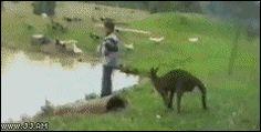4gifme-com:    Troll kangaroo
