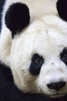 panda. The Gifts Of Life