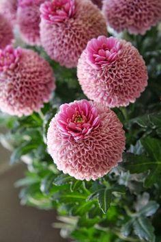 Parkia biglobosa Mimosaceae - Google Search