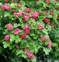 Ruusuorapihlaja Crataegus Pauls Scarlet