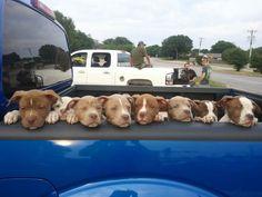 Adorable!!! More like adora-bull! Pitbull Terrier, Terrier Dogs, Pitbull Pups, Funny Pitbull, Bull Terriers, Pitbull Adoption, Chihuahua Dogs, Terrier Mix, Cute Puppies