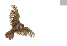Female NZ Falcon - Wingspan National Bird of Prey Centre, NZ...