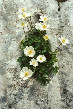 RANUNCULUS ALPESTRIS (Ranuncolo alpestre. Alpen-Hahnenfuß. Renoncule alpestre. Alpska zlatica. Alpine Crowfoot). Ranunculaceae