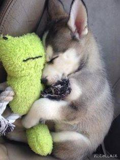 Siberian Husky - A friendly and playful dog, . - Siberian Husky – A friendly and playful dog, - Cute Little Animals, Cute Funny Animals, Cute Pets, Funny Dogs, Pet Puppy, Dog Cat, Husky Dog, Siberian Husky Puppies, Pomeranian Puppy