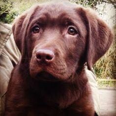 Chocolate Lab, my precious Chevy when he was little