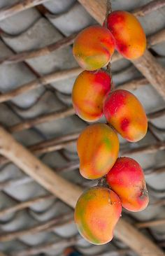 Mango fruit is rich in pre-biotic dietary fiber, vitamins, minerals, and poly-phenolic flavonoid antioxidant compounds.
