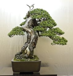 The heart of Japan - Keiji Tanaka display at Taikan-ten - Bonsai Tonight Terraria Tips, Pine Bonsai, Plantas Bonsai, Japanese Tree, Bonsai Styles, Indoor Bonsai, Miniature Trees, Bonsai Garden, Green Life