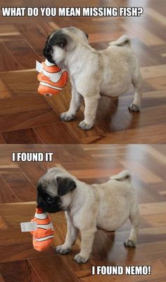 Pugs have a variety of facial expressions. For that reason, pug memes are funny and I hope these 101 dog memes featuring pugs bring a smile to your day! Funny Animal Jokes, Funny Dog Memes, Cute Funny Animals, Funny Animal Pictures, Animal Memes, Cute Baby Animals, Funny Cute, Funny Dogs, Wild Animals