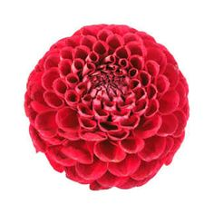 Dahlia - grows in a purple Your Complete Guide to Wedding Flowers | TheKnot.comSeason: summer–early fall  Colors: white, yellow, orange, pink, red, purple