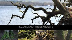 Scotland Trees and Roots