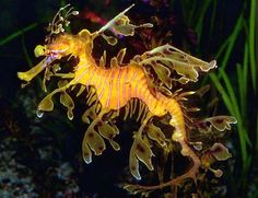 leafy sea dragon~ endangered gentle jewels of earth's wondrous seas ~'protect them!!! don't catch them, don't buy dried as souvenirs!!! letnthem live in nature's magnificent oceans!!!