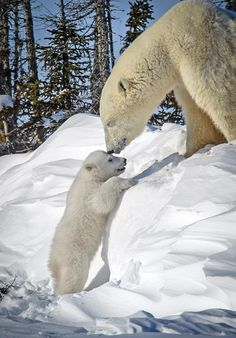 A mother bear melts out hearts despite feeling cold just looking at all that snow! A rare moment is captured between a mother polar bear and her cub as the little guy tries to climb up a hill the size of him.