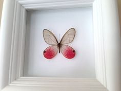 """Real Butterfly Taxidermy Art - Insect Art, Bug Art, Bugs, Insects, Taxidermy, Entomologist, Butterflies, Butterfly Decor, Interior Design, Home Decor. A 5""""x5"""" white wood shadow box frame secures a a real butterfly insect inside. Very unique! All insects come from preservation farms and lived a full life. They were not harmed in any way for my artwork. Information cards will be included to learn more. Makes a great conversational piece! The beauty of insects and nature come together…"""