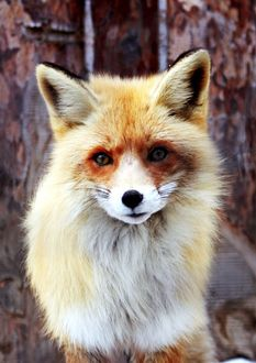 welcome the occasional guest fox - especially one so beautiful and sad looking