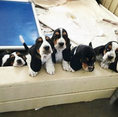 Basset Puppies, Hound Puppies, Basset Hound Puppy, Hound Dog, Cute Puppies, Cute Dogs, Dogs And Puppies, Cute Dog Photos, Puppy Pictures