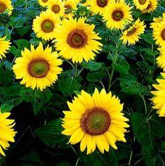 Sunflower Giant Single Seeds - Irish Plants Direct