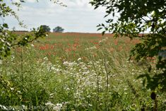 Friday Flora – Papaver rhoeas, the field poppy Cotswold Wildlife Park, Replant, Wildflowers, Planting, Poppy, Fields, Nest, Vineyard, Flora
