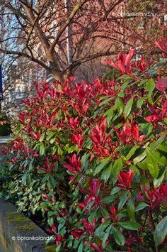 Kerti Korallberkenye (Photinia x fraseri) Good Morning Flowers, Plants, Landscapes, Paisajes, Flora, Plant, Scenery, Planting