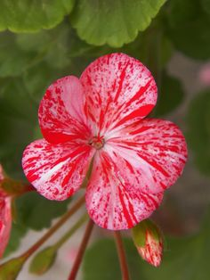 Geranium, red pink color.