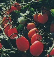 Tomato Sweet Olive 50 Seeds by Cucumber King by Cucumber King, http://www.amazon.com/dp/B00A6TK082/ref=cm_sw_r_pi_dp_IndPqb1BGGTNC