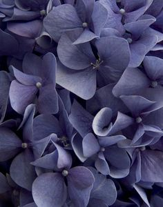 Hydrangea - love the flower and this shade of blue/purple