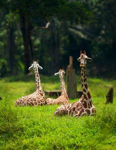 Giraffe Trio at Rest by Mervyn Dublin Nature Animals, Animals And Pets, Wild Animals, Perros Basenji, Beautiful Creatures, Animals Beautiful, Cute Baby Animals, Funny Animals, Mundo Animal