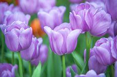 FIELD OF PURPE TULIPS by JENNY RAINBOW.   Field of beautiful purple tulips, close up. Selective focus.  Picture made in Keukenhof botanic garden in 2015. #JennyRainbowFineArtPhotography #Tulips #Holland #Netherlands #Keukenhof #Spring #Garden #Purple