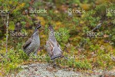 Two Hazel grouse, Bonasa bonasia fighting royalty-free stock photo Grouse, Royalty Free Stock Photos, Bird, Face, Animals, Animales, Animaux, Birds, The Face