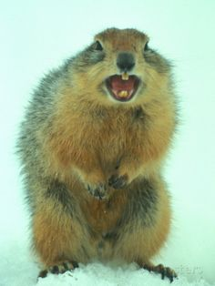 Arctic Ground Squirrel Barring its Teeth, Northwest Territories, Canada Photographic Print Ground Squirrel, Animal Attack, Northwest Territories, Baby Animals, Animal Babies, Find Art, Framed Artwork, Memes, Arctic