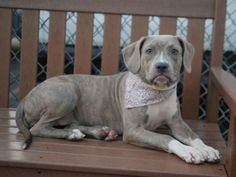 Brooklyn Center MONEY – A1050315 FEMALE, GR BRINDLE / WHITE, PIT BULL MIX, 5 mos OWNER SUR – EVALUATE, NO HOLD Reason LLORDPRIVA Intake condition UNSPECIFIE Intake Date 09/04/2015