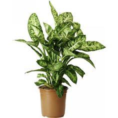 Dieffenbachia Sublime 24cm