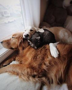 And this is how mornings are here at home before starting our day in search of a new adventure! Animals And Pets, Cute Animals, Cute Dogs Breeds, Dogs Golden Retriever, Westies, Dog Leash, I Love Dogs, Pet Birds, Dog Life