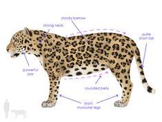 How to Draw Animals: Big Cats, Their Anatomy and Patterns - Part 2 Amur Leopard, Snow Leopard, Jaguar Tier, Jaguar Spots, Jaguar Animal, Muscular Legs, Mountain Lion, Cheetahs, Drawing Challenge
