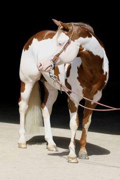 Stallion and breeding station STEINBERG | Color My Gun