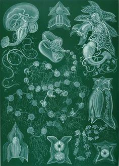 77 - Kunstformen der Natur (1904),