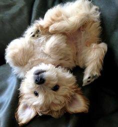 Fofura mode on!  Snap: Fashionglamour1 #fofodemais #pets #instalike #tag4follow #tag4follows #tagforfollowers #tagsforfollows #tag4follows #tags4follow #cachorroétudodebom #gravida #kardashians #puppygram #puppylove #puppy #fancy #cutedogsofinstagram #beleza #cutedogs #fofo #cute  by fashionglamourbr  http://bit.ly/teacupdogshq
