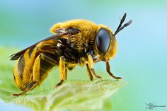 Hover Fly - Microdon sp.