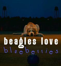 beagles love blueberries  Fantastic Mr. Fox