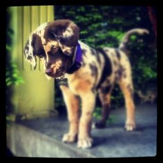 Chocolate Aussiedor...Chocolate Lab/Australian Shepherd mix...beautiful...kinda looks like cookie dough haha!