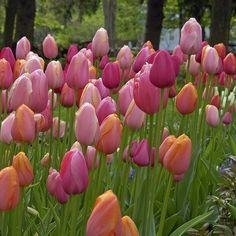 """Eine wundervolle Tulpenmischung: 'French Blend Rose'. Acht wunderschöne Pastelltöne vereinen sich in der Tulpenmischung """"French Blend"""". Toll für den eigenen Garten! Perfekt aufeinander abgestimmte Blumenzwiebelmischungen gibt es bei www.fluwel.de. Pflanzzeit ist im Herbst."""
